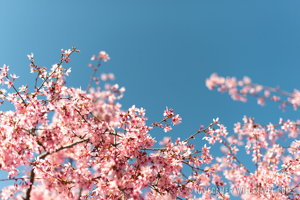 Beautiful spring blossoms of a flowering cherry tree stand out against a clear blue sky in the spring. Taken with a shallow depth of field with selective focus.