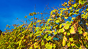 Vineyard at Volcano Winery, Volcano, The Big Island, Hawaii USA