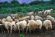 A herd of free grazing goats. Photographed on Crete island, Greece