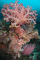 Colorful Soft Corals decorate an outcropping of reef<br /> <br /> Shot in Indonesia