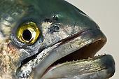 Bluefish Stock Photos