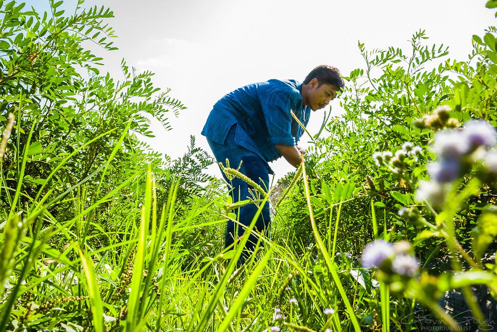 A man harvesting indigo plants in preparation for the traditional dyeing process, Indigo Plantation Fields, Sakhon Nokhon, Thailand