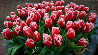 Red and white frilly tulips. Tulip festival at Keukenhof Gardens in Lisse, Netherlands. Image taken with a Nikon D4 camera and 14-24 mm f/2.8 lens.
