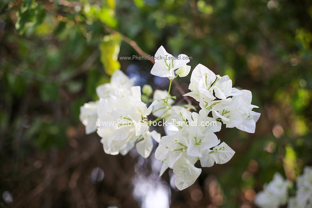 Pure White flowers of a Bougainvillea bush
