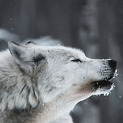 Gray wolf (Canis lupus) howling. Michigan, Captive Animal