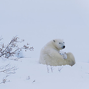 Polar bear (Ursus maritimus) mother just out of the winter den with a very young cub. Canada