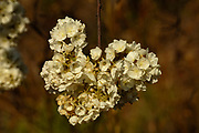 Flower of the Wild pear, Dombeya rontundifolia, Limpopo, South Africa