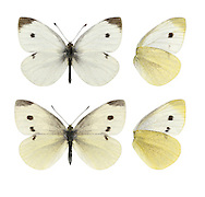 Small White Pieris rapae  Wingspan 45mm. Appreciably smaller than Large White. Adult upperwings are creamy-white with dark tip to forewing; female has two dark spots on forewing. Underwings are yellowish. Adult flies April–May and July–August. Larva is green, speckled with tiny pale dots; feeds on cultivated cabbage and related plants. Common and widespread, and often seen in the garden.