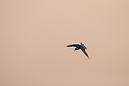 A Common Tern during Sunset in Pak Thale, coastal Petchaburi, Thailand.