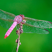 A dragonfly perched in a sea of green early morning in South Texas.