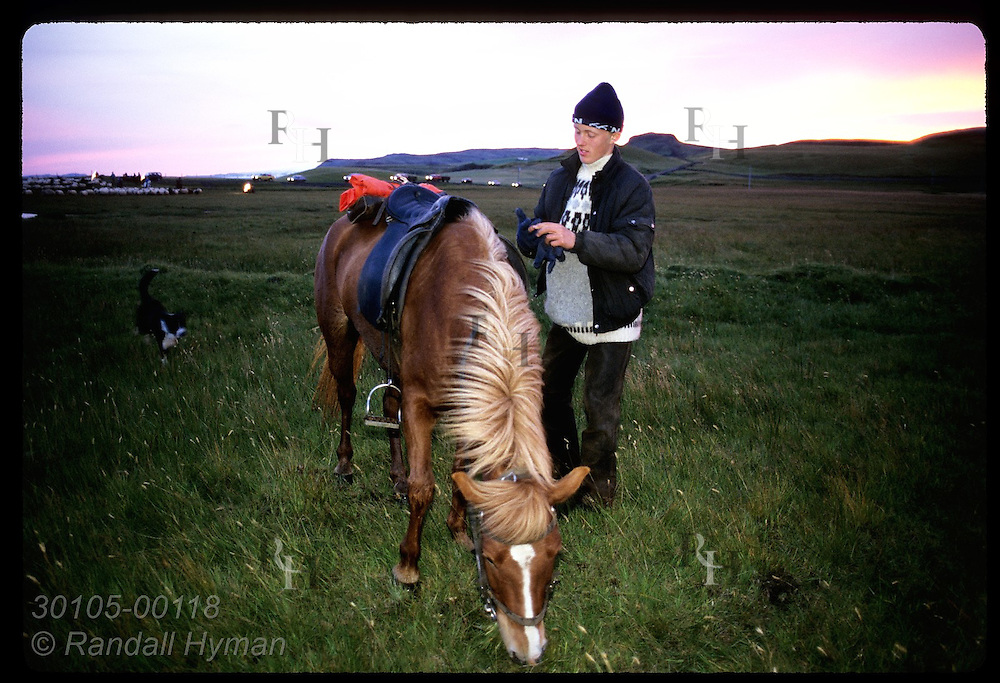 Teen stands by horse as it grazes @ end of 4-day roundup as sheep & cars pass in distance;Klaustur Iceland