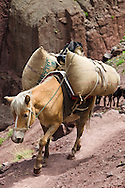 Pack pony weighed down with sacks (carrying supplies uphill) in the Markha valley, Nimaling, Ladakh