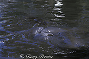 Florida manatees, Trichechus manatus latirostris; mating herd - at least six males are trying to mount a female that has gone into estrus in a canal in Miami, Florida, USA