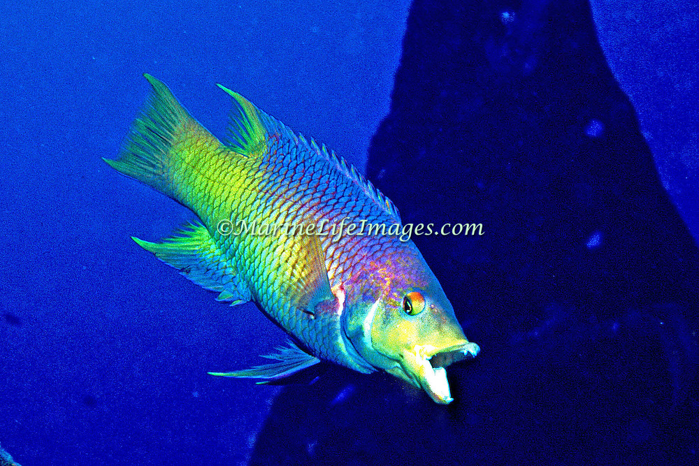 Spanish Hogfish constantly swim about reefs and areas of rocky rubble in Tropical West Atlantic; picture taken Key Largo, FL.