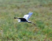 Gray Heron (Ardea cinerea). Parque Nacional de Donana. Image taken with a Nikon D4 camera and 80-400 mm VR lens.
