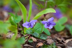 Dog Violet. Viola riviniana