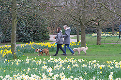 © Licensed to London News Pictures 16/03/2021. Greenwich, UK. Dog walkers in the park. Spring Daffodils at Greenwich Park in London today as the Met Office forecast for the next few days is sunshine with some rain across the UK. Photo credit:Grant Falvey/LNP