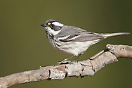 Black-throated Gray Warbler - Setophaga nigrescens - Adult female breeding