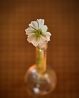White Cosmos flower. Backyard Autumn Nature. Image taken with a Nikon D810a camera and 60mm f/2.8 macro lens (ISO 200, 60 mm, f/5.6, 1/13 sec).