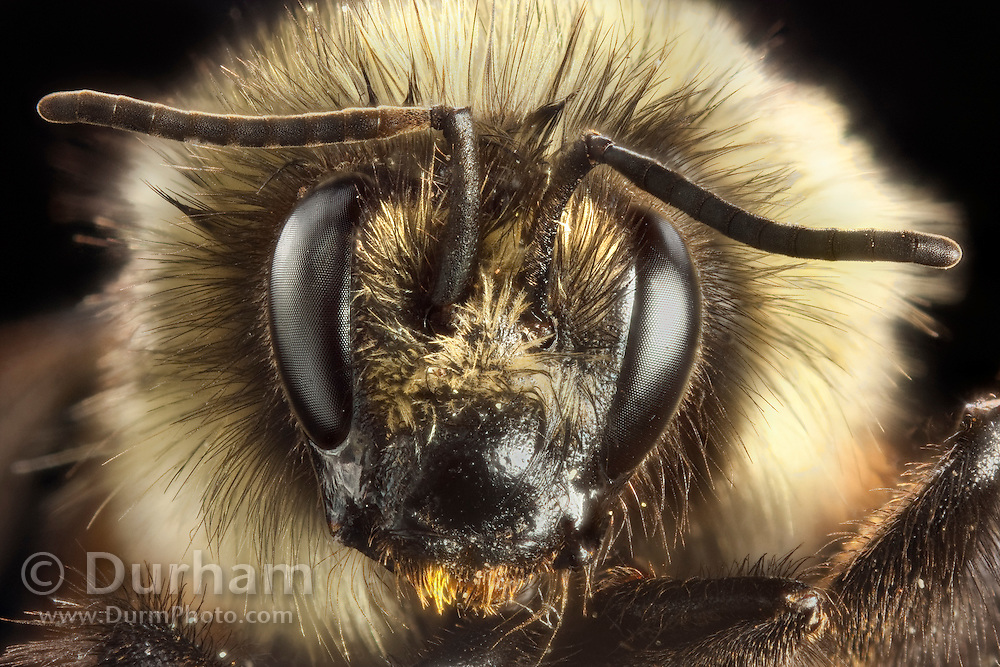Detailed portrait of a bumble bee (Bombus huntii). Western, Oregon.