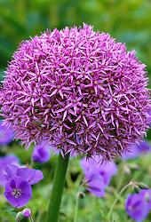 Allium 'Globemaster' growing through Geranium 'Brookside' at Glen Chantry, Essex