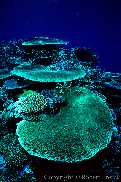 UNDERWATER MARINE LIFE WEST PACIFIC, Fiji Islands Reef Habitat: plate corals Acropora sp.