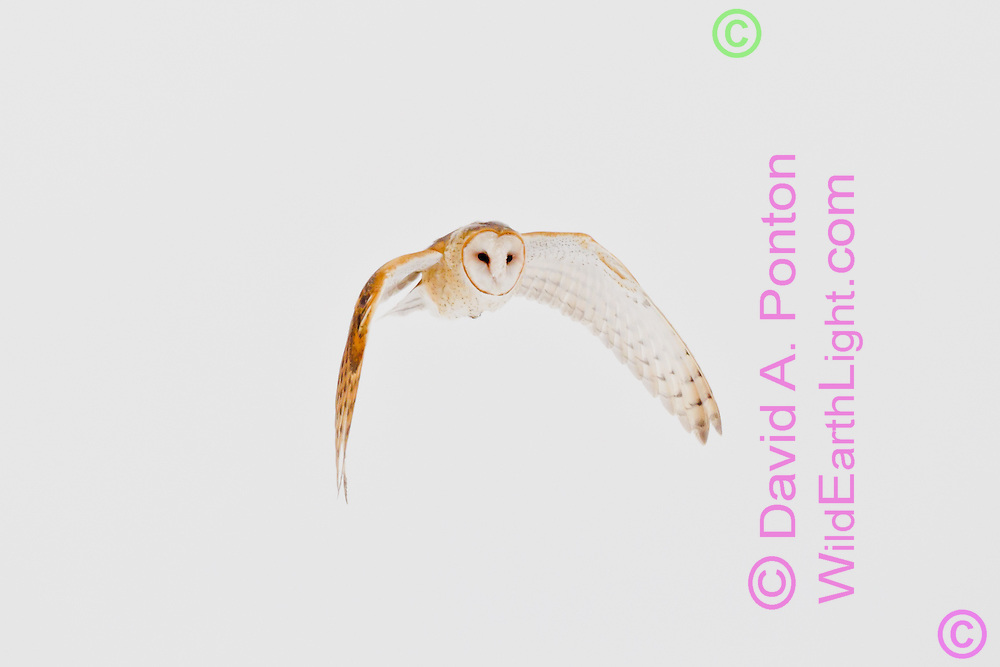 Barn owl in flight, hunting during the day in rare winter conditions when prey is inactive at night, active under snow during the day. ©  David A. Ponton