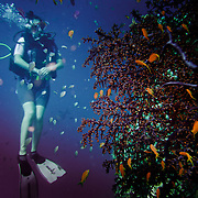 Divers diving on the Great Barrier Reef. Diver starring at the coral.