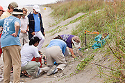 """Volunteer members of the """"turtle patrol"""" rescue loggerhead turtle hatchlings from a nest along the dunes of Isle of Palms,  SC."""