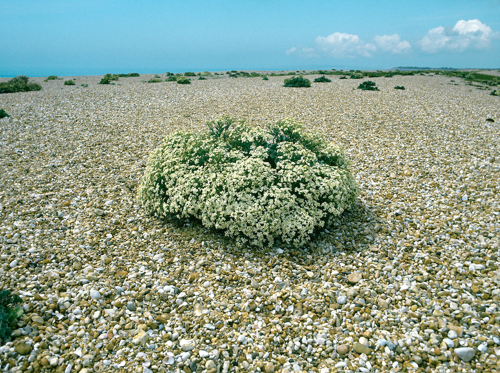 SEA-KALE Crambe maritima (Brassicaceae) Height to 50cm<br /> Robust perennial. Forms domed and expansive clumps on shingle and sandy beaches. FLOWERS are 6-12mm across with 4 whitish petals; in flat-topped clusters (Jun-Aug). FRUITS are oval pods. LEAVES are fleshy with wavy margins; lowers ones 25cm long and long-stalked.