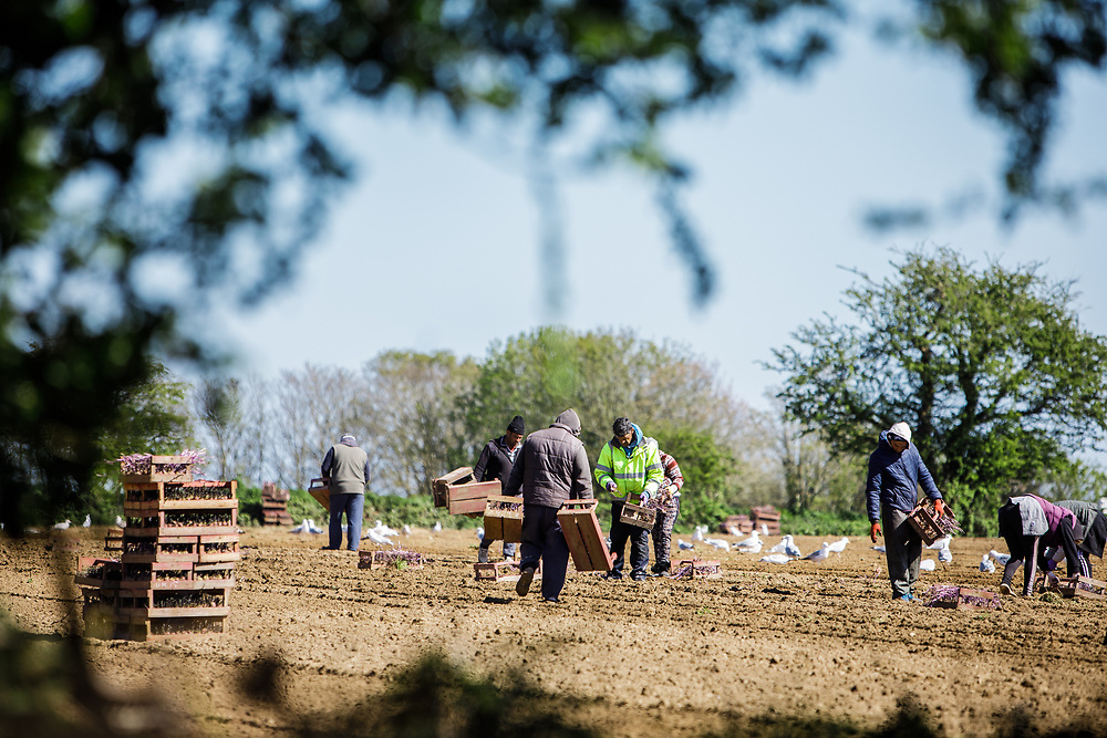Farm workers out in the fields planting crops of Jersey Royal new potatoes in the countryside of Jersey, Channel Islands