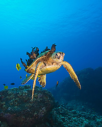 Endangered species, Green Sea Turtle, Chelonia mydas, being cleaned by Yellow Tang, Zebrasoma flavescens, Gold-ring Surgeonfish, Ctenochaetus strigosus, (endemic to Hawaii), and endemic Saddle Wrasse, Thalassoma duperrey, off Kona Coast, Big Island, Hawaii, Pacific Ocean