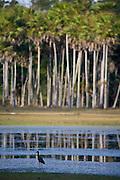 Aquidauana_MS, Brasil...Ave em  um lago na Fazenda Rio Negro no Pantanal...The bird in the lake in the Rio Negro farm in Pantanal...Foto: JOAO MARCOS ROSA / NITRO
