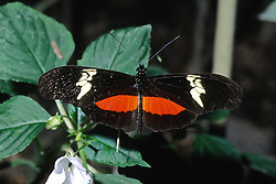 Small Heliconius Butterfly