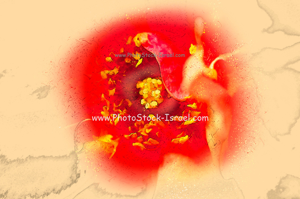 Digitally enhanced image of a perfect red Garden rose