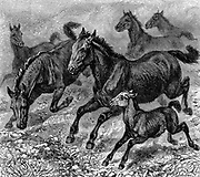 Herd of Tarpan, prehistoric wild horse of which died out in the late 1800s.  Modern genetic creation made in 1930s using breeds of pony with Tarpan ancestry.  Wood engraving 1893.