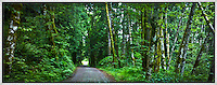 country road in the Green Mountain WA state forest, Kitsap Peninsula, Washington state, US pan