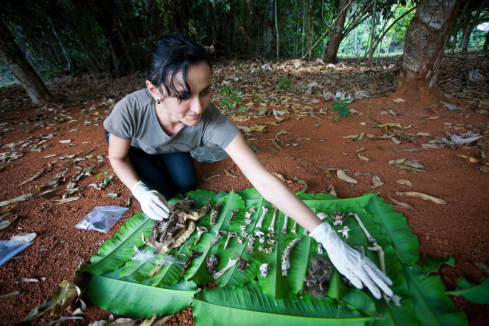 Parauapebas_PA, Brasil...Floresta Nacional de Carajas em Paraupebas, Para. Na foto o  Programa de Conservacao do Gaviao Real  (Harpia harpyja)...The Carajas National Forest in Paraupebas, Para. In this photo the conservation program of Harpy (Harpia harpyja)...Foto: JOAO MARCOS ROSA / NITRO