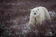 A photo of a polar bear walking through the fall tundra with the first snow fall.