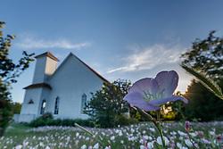 Showy primrose  (Oenothera speciosa) at historic Frankford Church on native Blackland Prairie at the Frankfurt Prairie Preserve, Dallas Texas, USA. (Tentative ID).