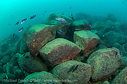 The shallow rocky underwater habitat around Likoma Island, Lake Malawi, is the home of hundreds of species of cichlids, adapted to fill every niche in the lake's ecosystem.