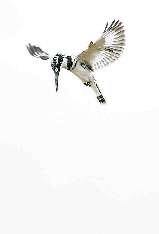 Pied Kingfisher (Ceryle rudis) from the White Nile, Uganda.