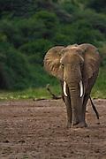 Lone bull elephant, Lake Manyara National Park, Tanzania