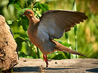 Mourning Dove. Image taken with a Nikon D5 camera and 600 mm f/4 VR lens (ISO 500, 600 mm, f/5.6, 1/1250 sec).