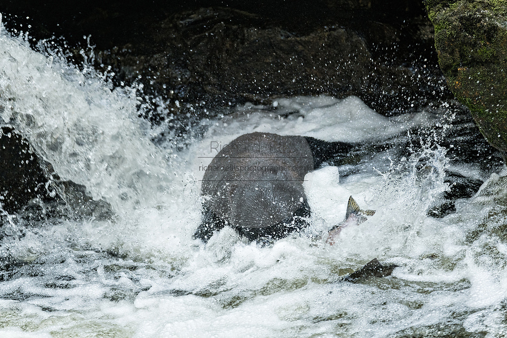 An adult American black bear lunges for spawning salmon at the falls in Anan Creek at the Tongass National Forest, Alaska. Anan Creek is one of the most prolific salmon runs in Alaska and dozens of black and brown bears gather yearly to feast on the spawning salmon.