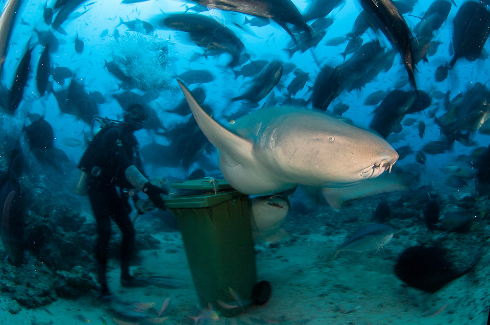 Tawny Nurse Shark (Nebrius ferrugineus) photographed at Shark Reef, Pacific Harbor, Fiji Islands, as it swims past a bin filled with fish remains.
