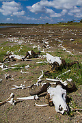 Mass death; wildebeest became mired in the mud on the shore of Lake Masek, Serengeti National Park, Tanzania.