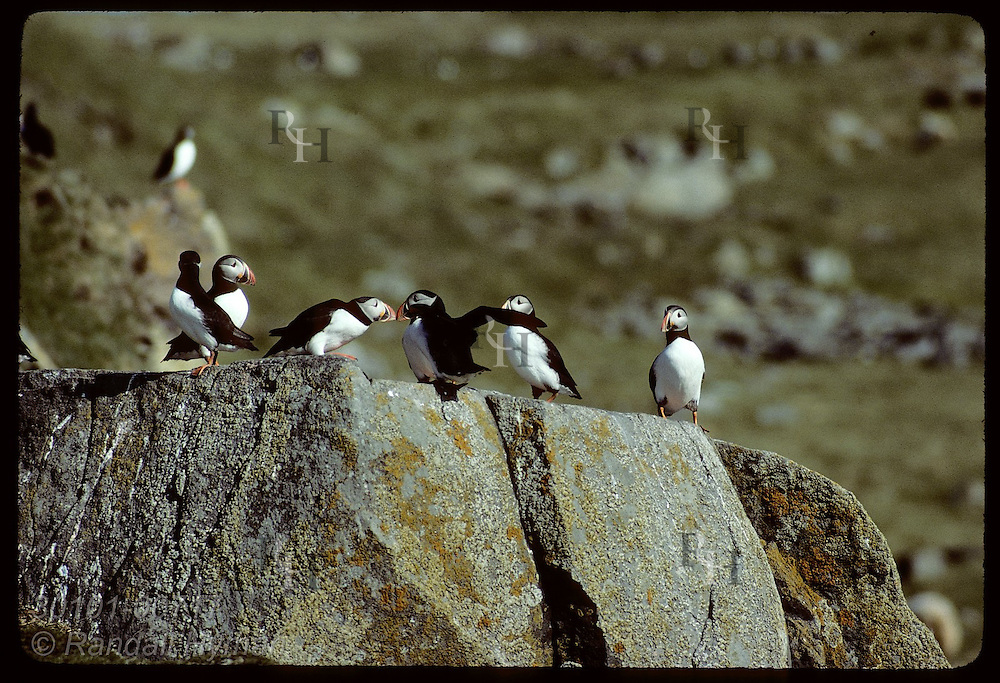 Puffin greets newly-landed fellow atop rock ledge on Vigur Island June. Iceland