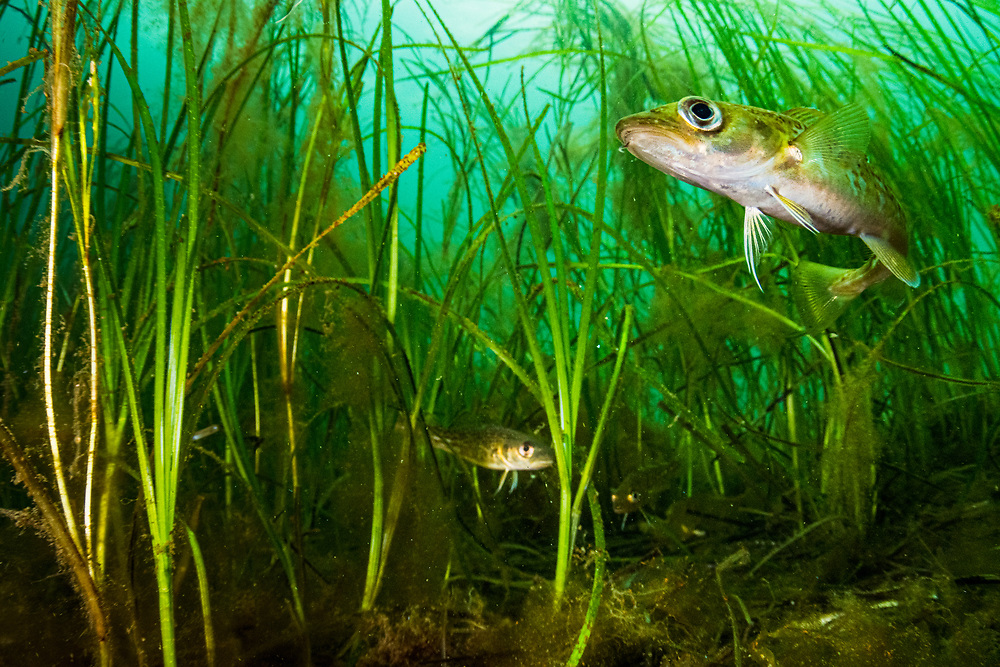 Juvenile Atlantic cod (Gadus morhua) hiding in eelgrass (Zostera marina) off Newfoundland Canada. This species of fish were once one of the most caught and eaten fish in the world. In 1992 the fishery collapsed and 37,000 people lost their jobs overnight. Juvenile cod and many other heavily fished species use seagrass as a nursery. The healthier the seagrass is, the better fisheries will likely be.