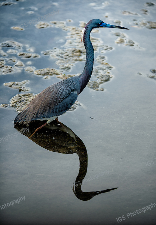 Tri-colored heron - reflected in a still waters at Green Cay